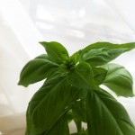 Don't Let Your Basil Plant Flower